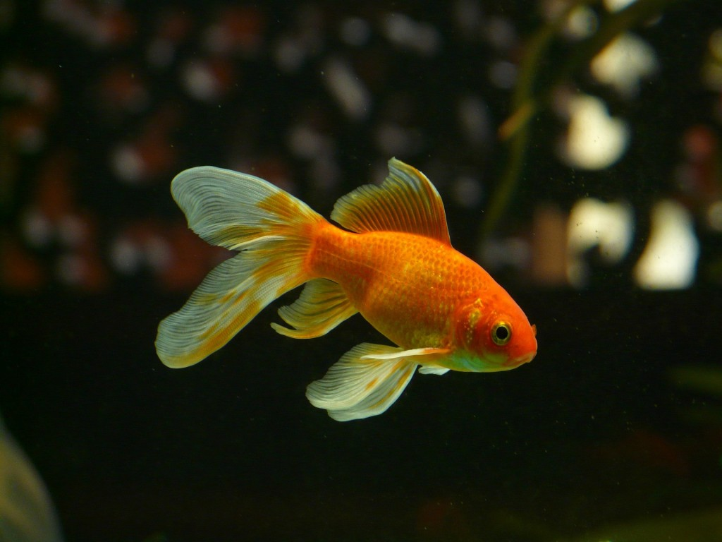The Goldfish Principle