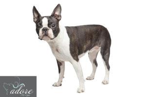 09.-Boston-Terrier
