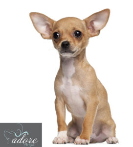 Chihuahua_2