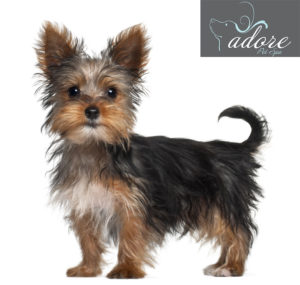 yorkshire-terrier-21
