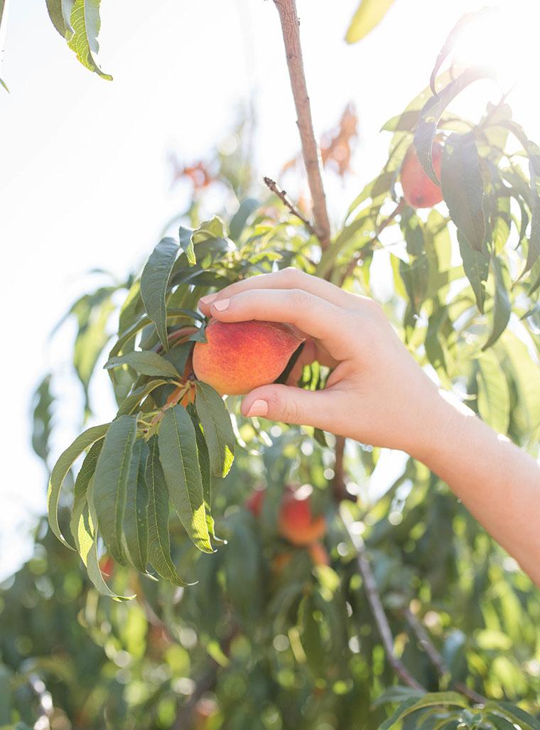 Peach Picking In Fredericksburg 11