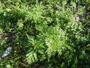 photo of eastern ragweed