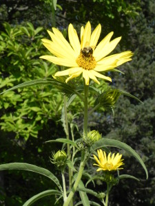Maximilian Sunflower with Bee