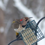 Flicker at Feeder