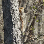 Squirrel climbing up a tree.