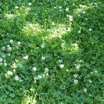 Clovers in lawn