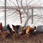 Chickens under shrub