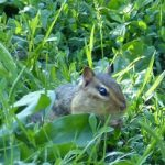 How Can Chipmunks Add  Amusement in Coronavirus Times?