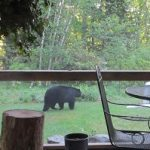 Bear in Yard