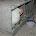 Hen with Chick