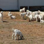 Goats in run.