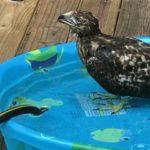 Hawk in wading pool