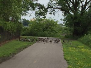 Geese on Trail