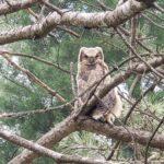 Owlet No. 1