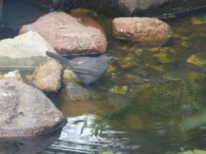 Gray catbird at water's edge