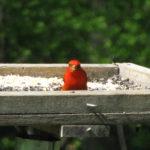 Red bird on a feeder