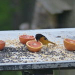 bird eating from an orange