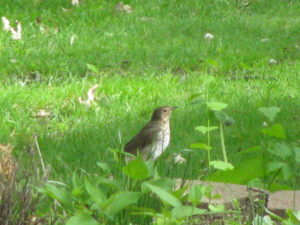 Speckled thrush on the lawn