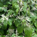 Flowers of knotweed