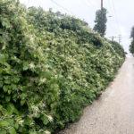 Knotweed along roadside