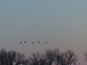 Cranes flying
