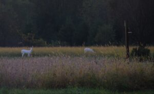 Albino deer in field