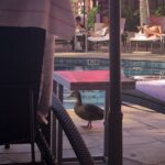 A duck walking by swimming pool at a Hawaiian resort