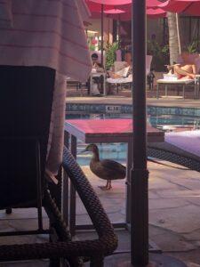 A duck walking by swimming pool at a Hawaiian resort
