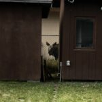 baby moose peers between two buildings.