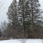 Three Fir Trees in Winter