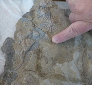 man pointing to crinoids on a fossil slab