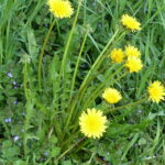 Dandelions in bloom