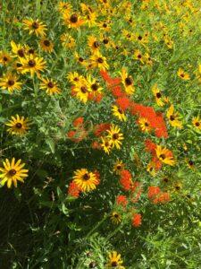 Colorful prairie forbs