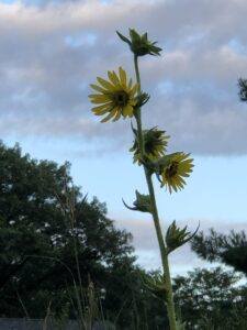 Tall yellow plant against sky.