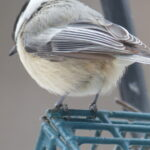 Bird of suet feeder