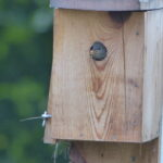 Bug in baby wren's beak