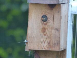 Bug in baby wren's beak
