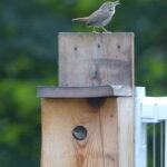 Parent Wren on Box