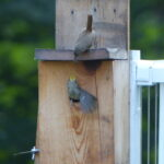 Parent wren feeds baby in box