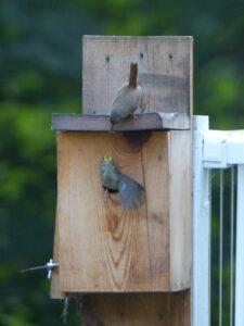 Parent wren feeds baby in box