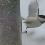 chickadee flies from hanging feeder