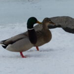 Mallards on snow