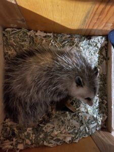 possum leaving chicken nest.