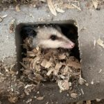Opossum in cinder block