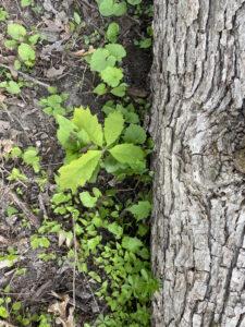 oak seedling next to fallen log