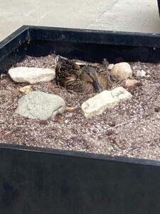 Female mallard on nest