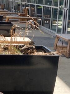 Mother Mallard on Urban Flowerbox