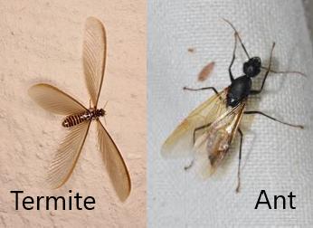 Termite Swarm or Flying Ants?