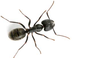 carpenter-ant_tm