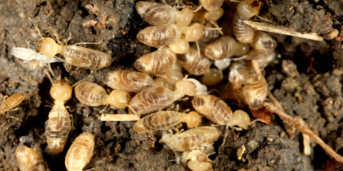 Close-up of termites at their nest in the soil. Reproduction ratio 1.4:1.